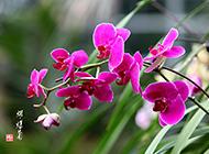 唯美的紫色蝴蝶兰植物图片