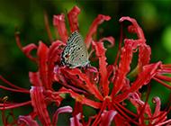 妖艳彼岸花开精致花卉图片欣赏
