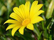 乡间的黄色野菊花图片