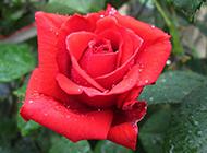 艳丽的雨后红玫瑰图片素材