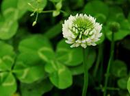 白色的三叶草花朵图片