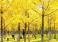 梧桐樹風景圖片金黃燦爛