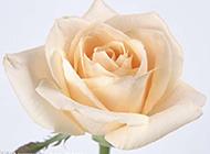 一只香檳玫瑰高清圖片素材