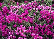 唯美的紫色花朵摄影图片