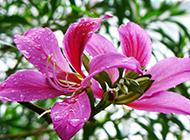 广州路边紫荆花图片沁人心脾