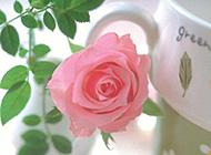 一支粉玫瑰花唯美图片