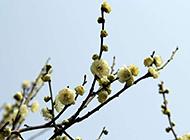 含笑迎风的梅花树高清图片