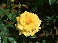 娇美的野生黄玫瑰图片赏析
