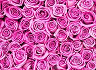 紫玫瑰花圖片唯美背景素材推薦