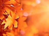 金黄枫叶摄影图片