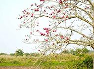 一树怒放的木棉花图片