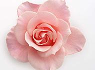 粉玫瑰花唯美背景图片素材