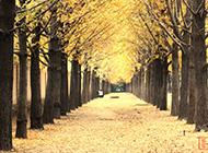 夏天的银杏树林精美图片