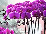 美丽的蝴蝶兰图集