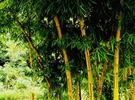 夏天的竹子摄影图片
