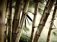 干枯的竹子图片
