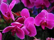 红色蝴蝶兰花素雅鲜花图片素材
