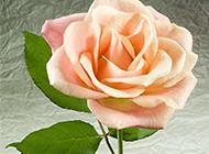 美麗綻放的香檳玫瑰圖片