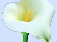 一朵白色喇叭花图片