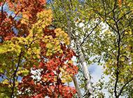 秋日楓樹攝影圖片欣賞