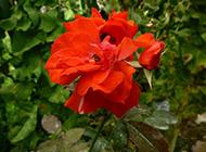 红月季花图片精美高清背景