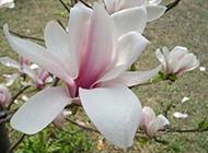 傲立枝头的玉兰花图片