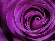 優雅紫玫瑰唯美花卉高清美圖