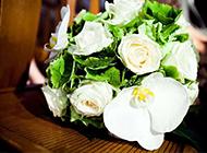 清纯唯美的白玫瑰高清图片