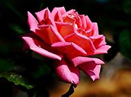 綻放的美艷粉玫瑰高清大圖