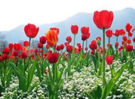 红色郁金香唯美清新风景图片