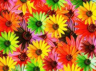 小清新的菊花背景素材分享