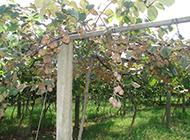 挂满枝头的奇异果摄影图片