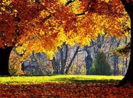 秋天迷人的楓樹林圖片