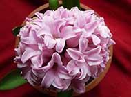 風信子球根花卉精美圖片