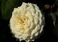 绽放的白色月季花图片