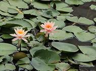 池塘水面上的睡莲图片