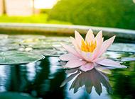 粉色莲花背景清雅唯美