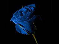 代表稀世珍爱的蓝色玫瑰花