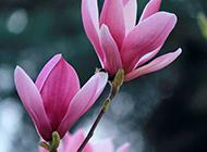 紫玉兰花图片素材分享