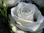 白玫瑰的水珠高清图片下载