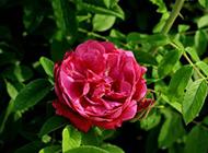 红月季花图片妩媚动人