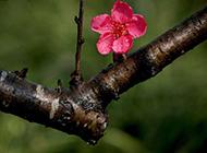 雨后娇嫩的红色梅花图片