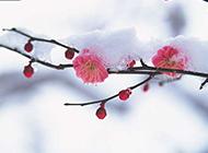 不惧寒冬的粉色桃花图片