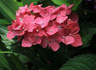 令人悦目怡神的绣球花摄影图片