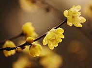 白梅花图片冬日摄影高清特写