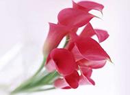 海芋花图片鲜花精美素材分享