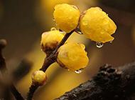 雨后含苞待放的腊梅花图片
