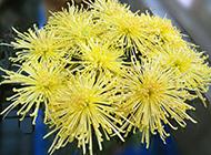 黄色的菊花实拍图片