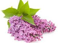 清新俏麗的紫色丁香花圖片