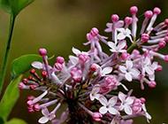 花色淡雅而清香的丁香花图片